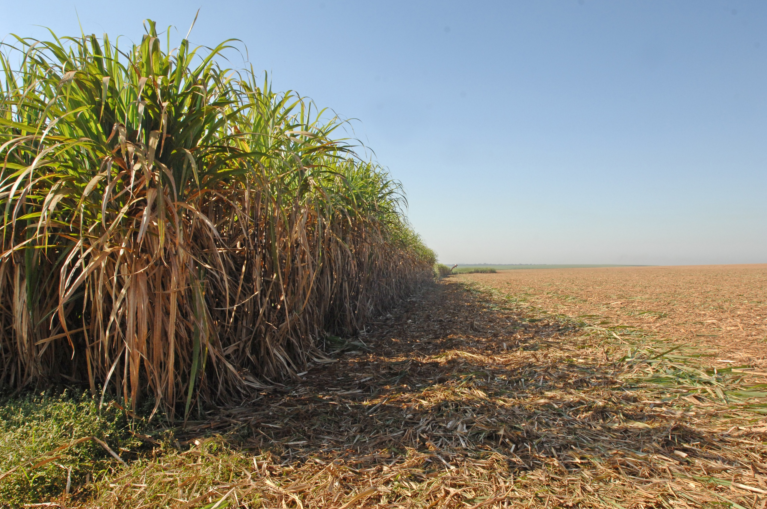 Sugarcane harvest for the first half of August 2020