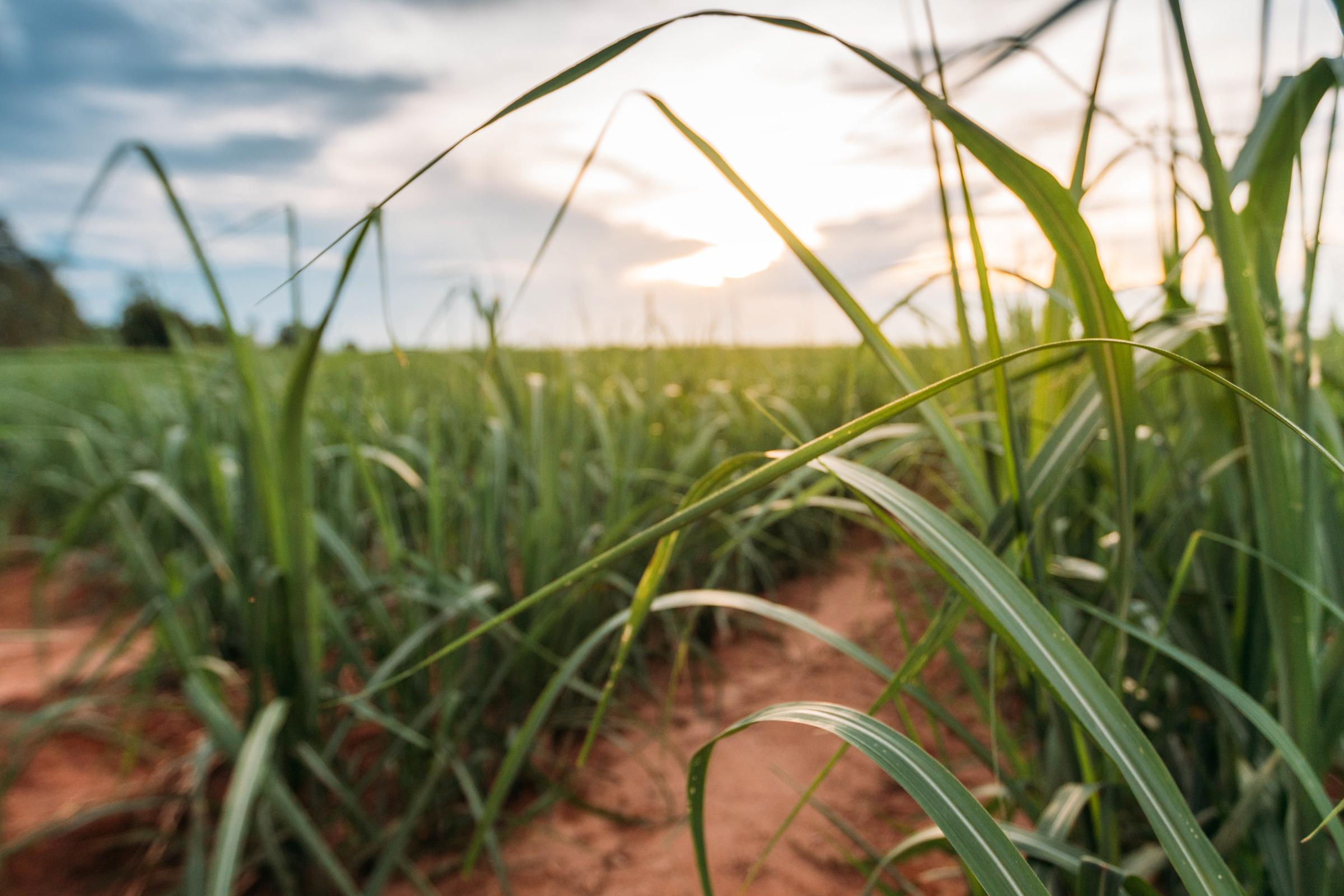Sugarcane harvest for the second half of June 2021