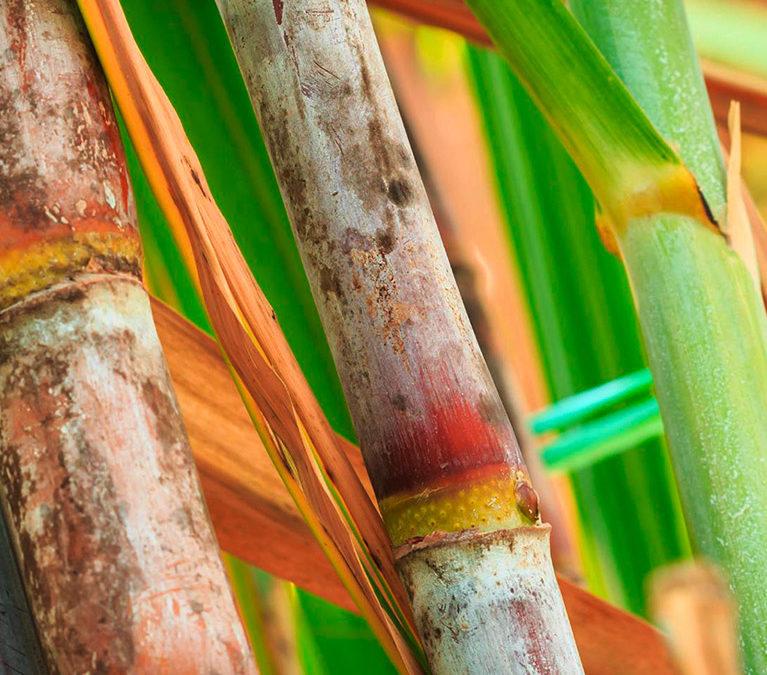 Sugarcane harvest for the first half of june 2021